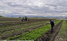Արմավիրի մարզում բուռն և արդյունավետ կերպով շարունակվում են գյուղատնտեսական աշխատանքները